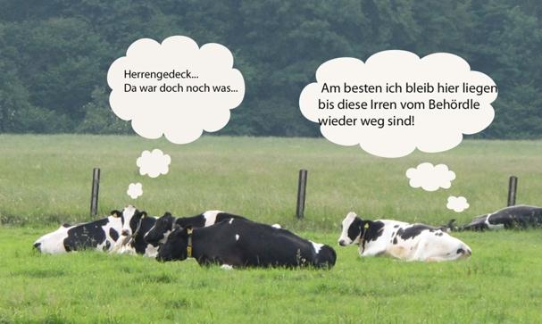kühe und so